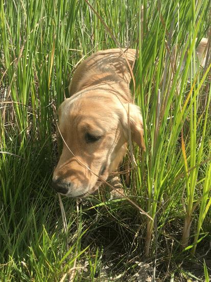 Golden Retriever Lacey in tall grass